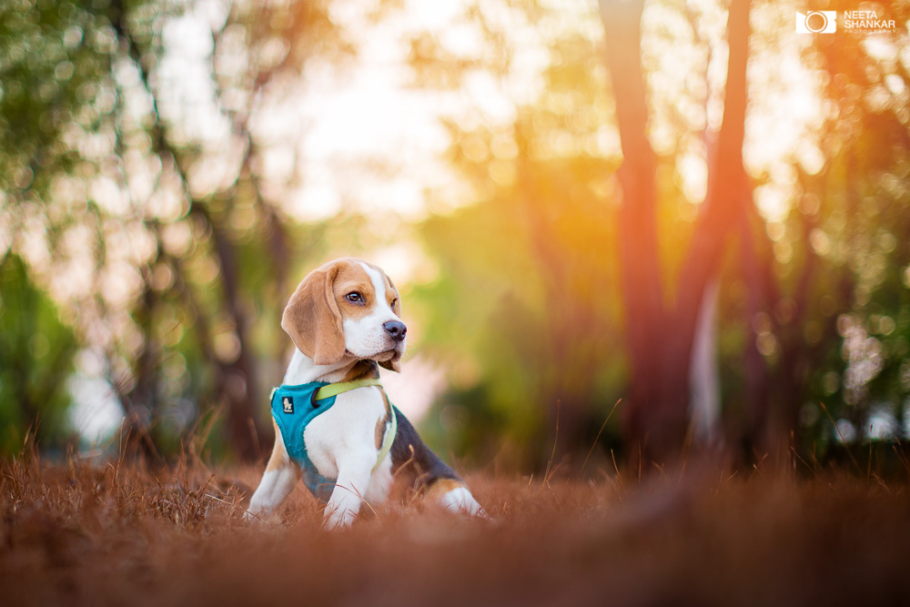 Pet Photography: Happy, The Beagle Pup